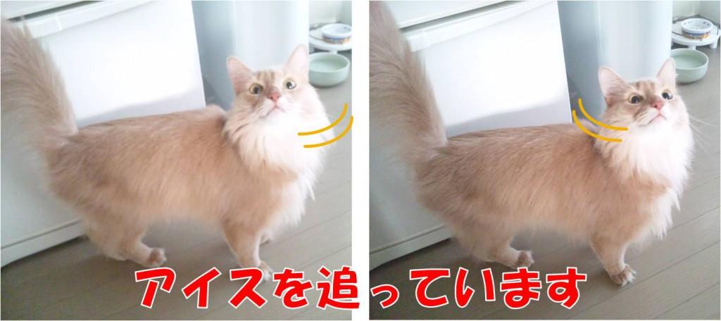 アイスを目で追う猫