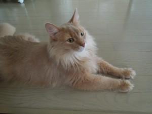 廊下で涼む猫
