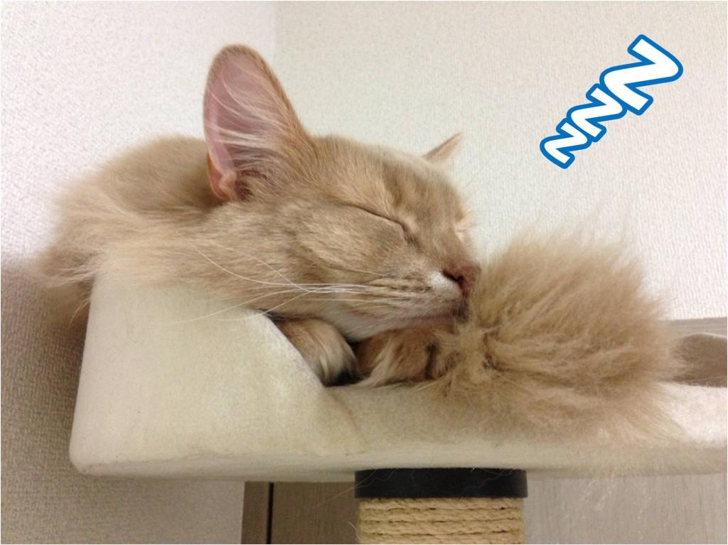 寝ているキツネのような猫①