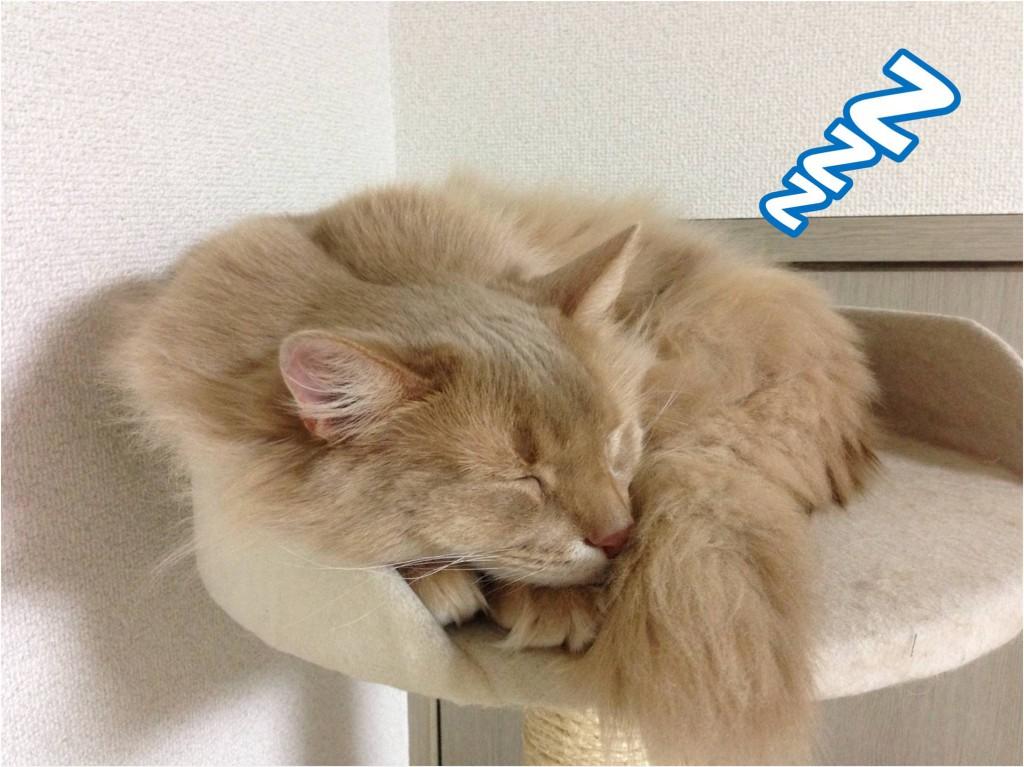 寝ているキツネのような猫②