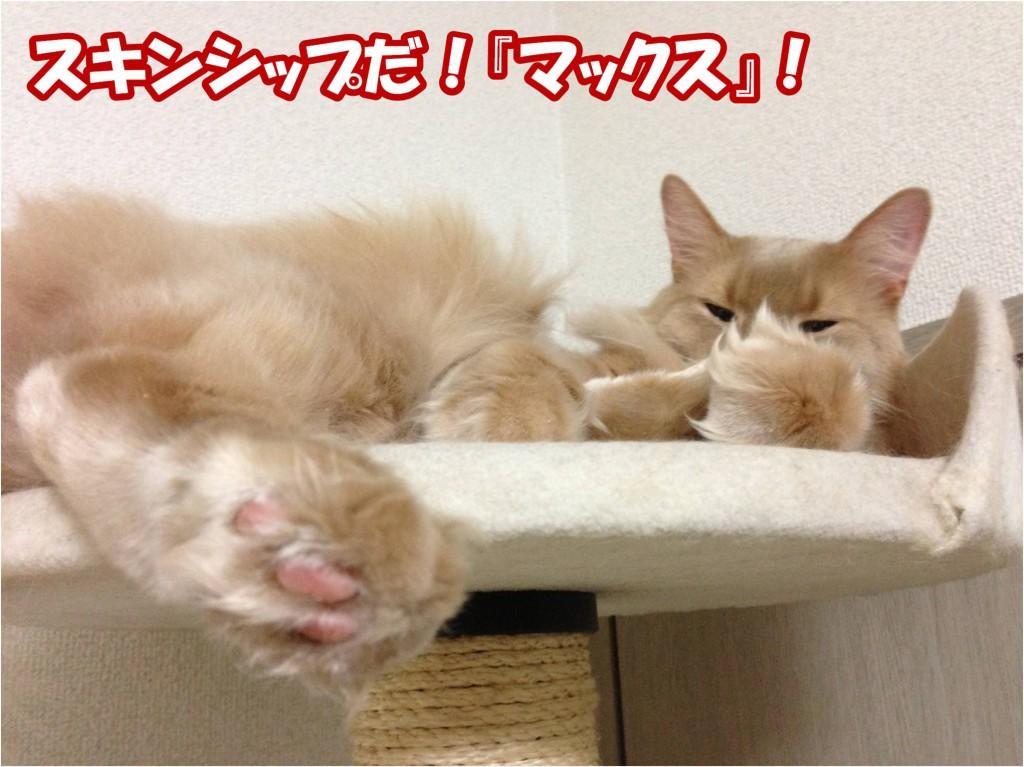 スキンシップをする スキンシップ嫌いの猫には | ソマリ猫のサイト【ソマリ イズ...】Soma